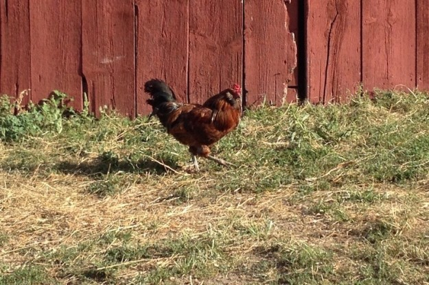 Chicken in front of barn