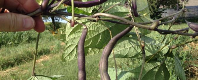 Hand picking beans