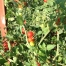Lots of tomato plants and tomatoes