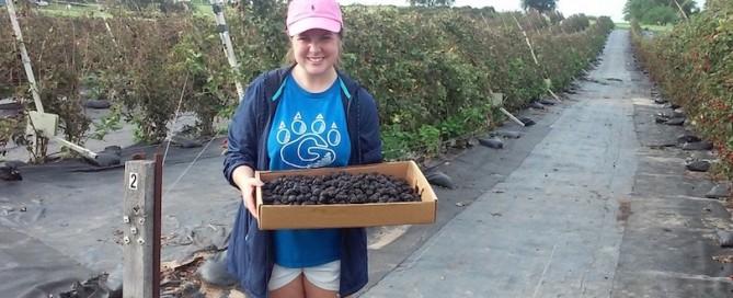 Blackberry gleaning