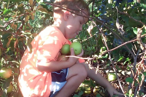 Little boy gleaning apples