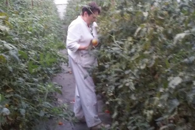 Suzy gleaning tomatoes