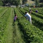 Gleaning fields, volunteers