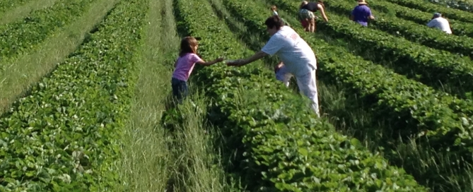 Gleaning fields, volunteers
