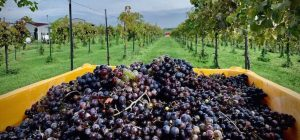 Fence Stile Vineyards & Winery Wine Run/Walk 5k @ Fence Stile Vineyards & Winery (40 min. from downtown KC) | Excelsior Springs | Missouri | United States