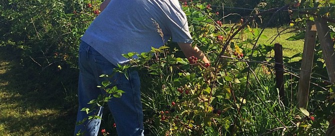 Gleaning blackberries