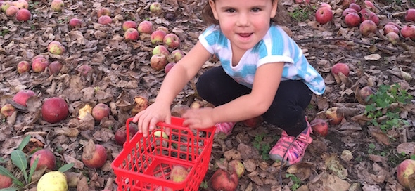 Little girl apple gleaning