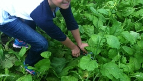 Girl gleaning mustard greens