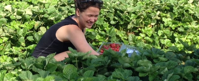 Woman gleaning strawberries